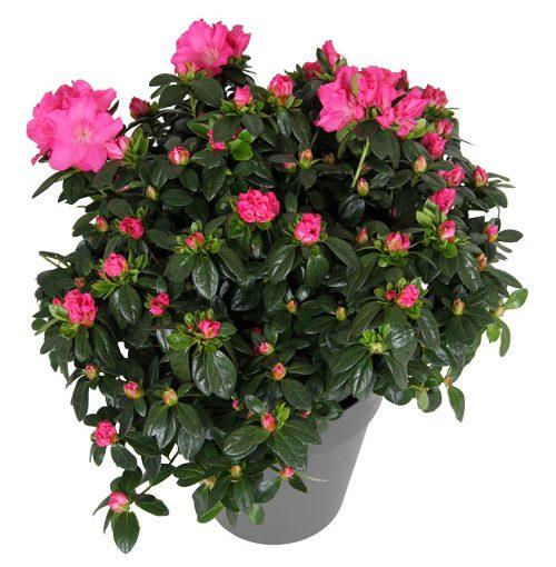 Sierpot gemak, altijd prachtige planten